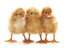 Trois petits poulets images libres de droits