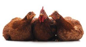 Trois petits poulets photos stock