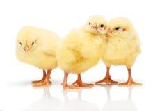 Trois petits poulets jaunes d'isolement sur le fond blanc Image stock