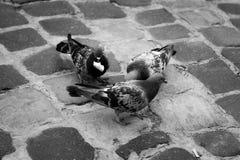Trois pigeons se reposent sur le trottoir et mangent du pain Photographie stock