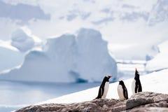 Trois pingouins Photo libre de droits