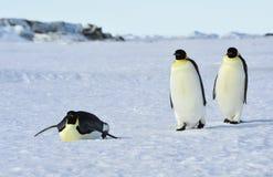 Trois pingouins d'empereur sur la neige image libre de droits