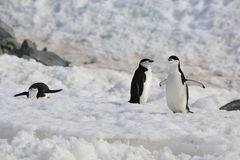 Trois pingouins de jugulaire en Antarctique Photo libre de droits