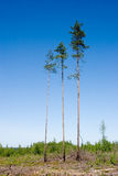 Trois pins Image stock