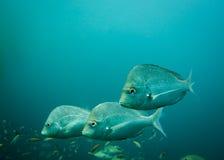 Trois poissons argentés de frondeur nageant ensemble Photo stock