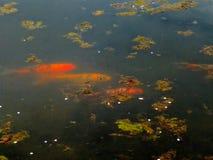 Trois poissons de koi dans un étang nageant au printemps images stock