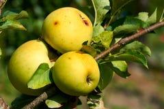 Trois pommes sur une branche images stock