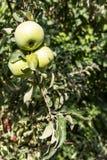 Trois pommes vertes sur une branche parmi les feuilles photo stock