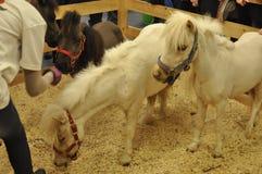 Trois poneys Photo stock