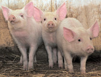 Trois porcs Photo libre de droits