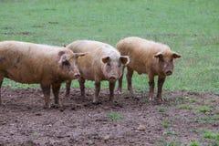 Trois porcs heureux Photographie stock libre de droits