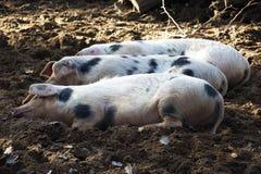 Trois porcs heureux Photos libres de droits
