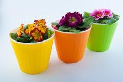 Trois pots de fleur et jaunes en plastique, rose, primevères pourpres à l'intérieur Photos stock