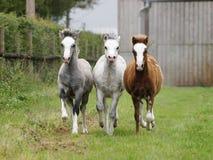 Trois poulains Photographie stock libre de droits