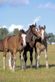 Trois poulains de cheval de Shire Photo libre de droits