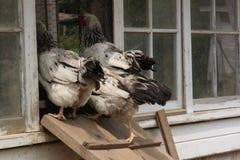 Trois poulets dans la porte d'une cage de poulet Image libre de droits