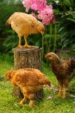 Trois poulets dans le jardin image stock