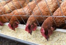 Trois poulets gratuits organiques de gamme mangeant dans la synchronisation photographie stock