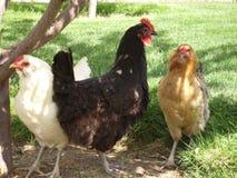 Trois poulets heureux Photos libres de droits