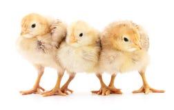 Trois poulets jaunes images libres de droits