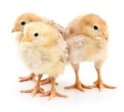 Trois poulets jaunes photographie stock libre de droits
