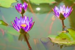 Trois pourpre Lotus dans le bain le soleil de matin photos libres de droits