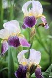 Trois pourpres et iris blanc sur Sunny Day intelligent dans le jardin photo libre de droits