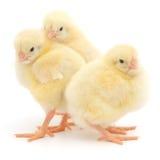 Trois poussins mignons Photographie stock libre de droits
