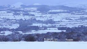 Trois RAM à cornes dans la neige profonde sur le fond scénique de collines banque de vidéos