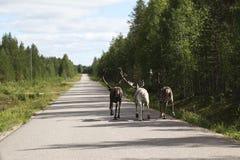Trois rennes fonctionnant sur la route Photos stock