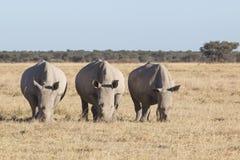 Trois rhinocéros Photographie stock