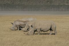 Trois rhinocéros blanc africain, rhinocéros place-labié, lac Nakuru, Kenya photographie stock