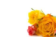 Trois roses colorées Photographie stock