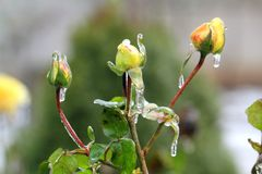 Trois roses jaunes Photo stock