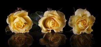 Trois roses jaunes dans les baisses de la rosée sur un noir ont isolé le fond et leur réflexion Photo stock