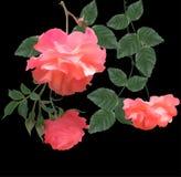 Trois roses rouge-clair sur le noir Image stock