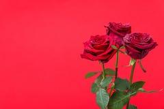 Trois roses rouges avec des gouttes de l'eau sur le fond rouge Photo libre de droits