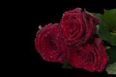 Trois roses rouges avec un bon nombre de baisses de rosée sur un fond noir Photos libres de droits