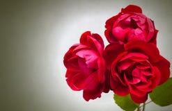 Trois roses rouges de jardin Photo libre de droits
