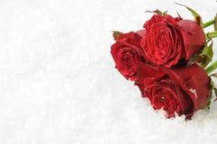 Trois roses rouges sur la neige blanche Photo stock