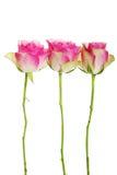 Trois roses séparées sur le blanc. Photographie stock