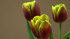Trois rouges et tulipes jaunes banque de vidéos