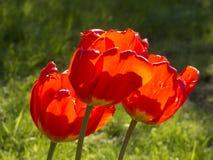 Trois rouissent des tulipes dans le contre-jour Images stock
