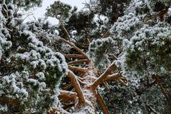 Trois sapins dans le panorama d'hiver en Russie images stock