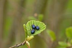 Trois scarabées de feuille d'aulne se reposant sur une feuille - alni d'Agelastica Photographie stock libre de droits