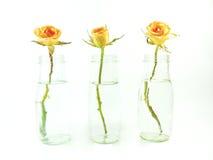 Trois se sont levés dans le vase d'isolement Image stock