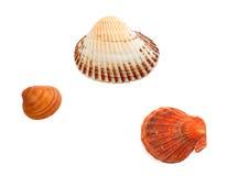 Trois seashells Image stock