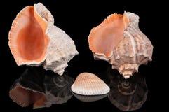 Trois seashells sur le noir images stock