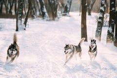 Trois Sibérien drôle Husky Dogs Running Together Outdoor dans la neige photo libre de droits