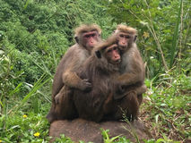 Trois singes Photo stock